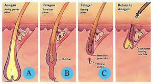 stadiicresterepar